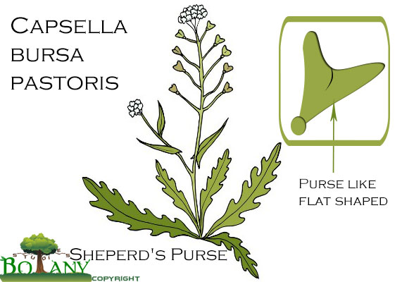 Capsella bursa pastoris Sheperds purse