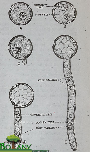 Development of  microspores