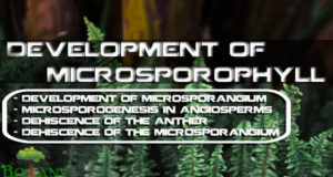 Development of Microsporophyll