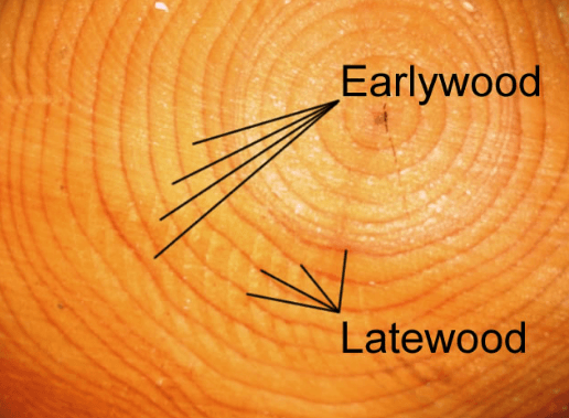 early-wood-and-latewood-in-softwood