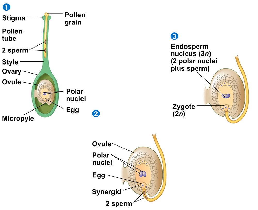 Germination of Pollen Grain