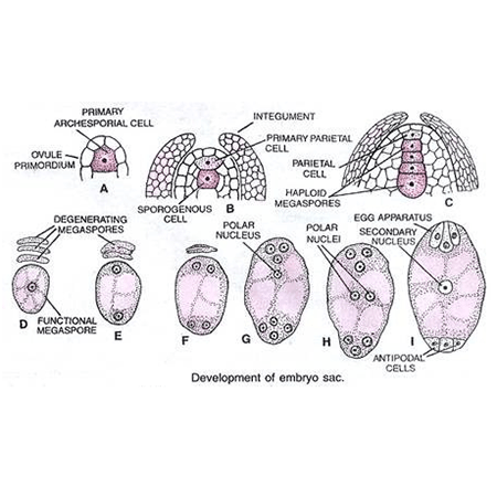 Developmental stages of the Female Gametophyte