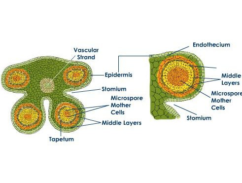 Development of Microsporangium of Angiosperms