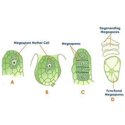 Various stages in the development of Megaspores