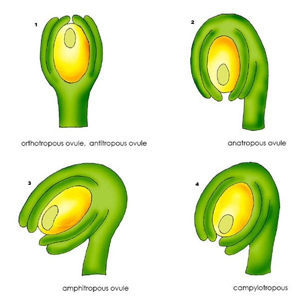 Types of Ovule Of Angiosperms