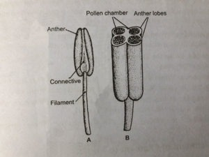 Anthers Different Parts