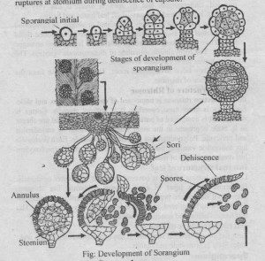 Development of the Sporangium
