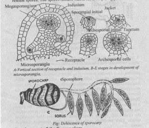 Development of the Sporocarp