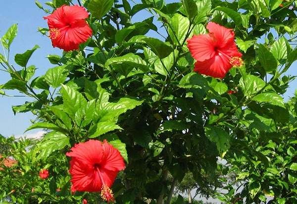 Hibiscus-Rosa-sinensis (China rose)