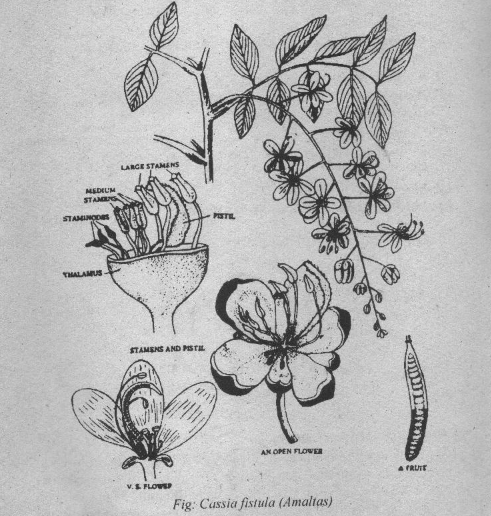 Cassia fistula Diagram