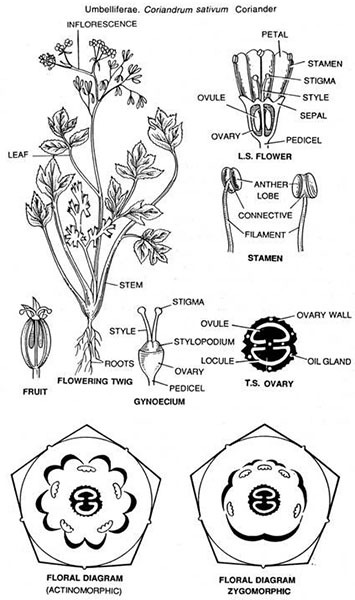 Coriandrum sativum (Dhania) Floral Diagram