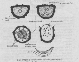 Development of the Male Gametophyte