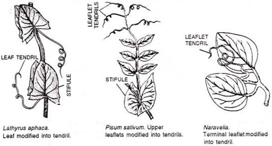 Lathyrus odoratus (Sweet pea) Leaf Diagram