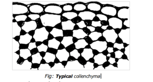 COLLENCHYMA DIAGRAM