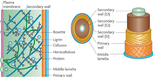 Different Layers in Cell Wall & Orientation of Microfibrils