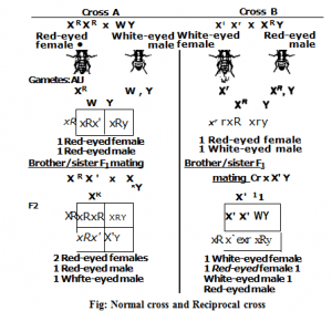 Normal cross and Reciprocal cross