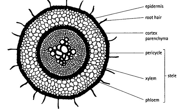 Parenchyma Cell Diagram