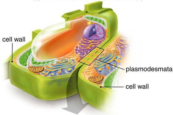 Plasmodesmata in Plant Cell