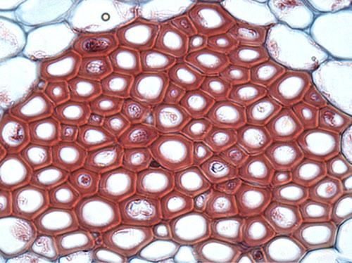 Sclerenchyma Cells