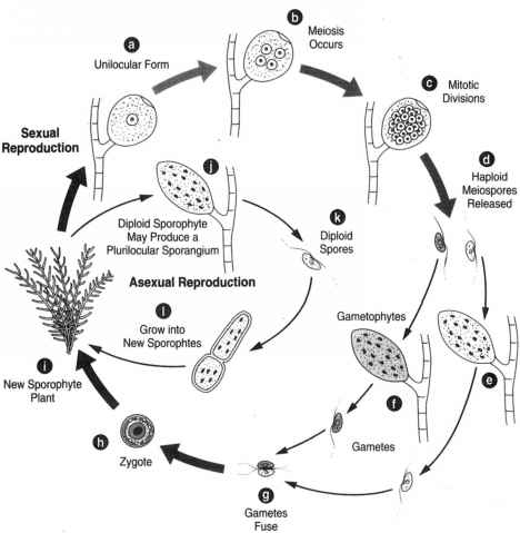 Asexual reproduction in sporophyte