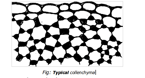Collenchyma Tissue