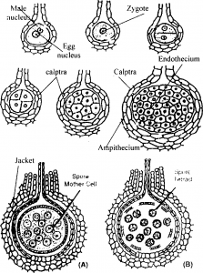 Development of embryo of riccia