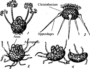 Different stages of cleistothecium
