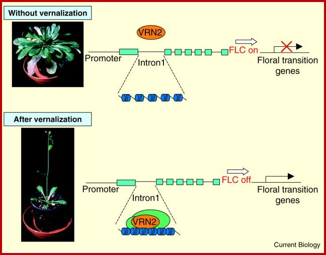 Mechanism of Vernalization