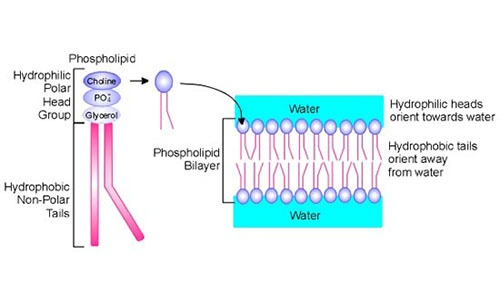 Phospholipid