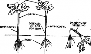 Pythiuin showing effect on host plant seedling
