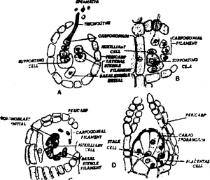 Stages of development of cystocarp