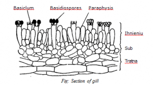 gills or lamella of fungi