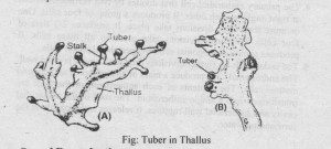 Tubers in thallus of Anthoceros