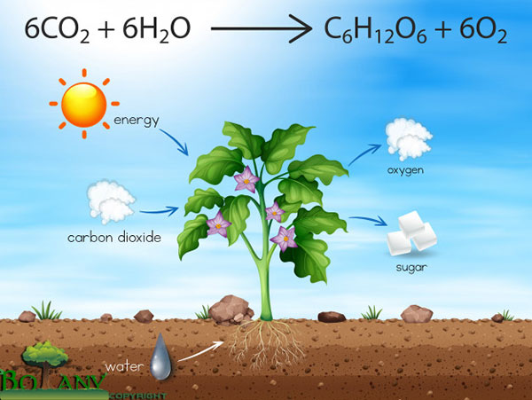 Chemical Equation for Photosynthesis | Process of Photosynthesis Step by Step