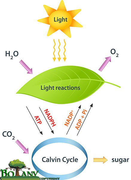 Light Reaction and Dark Reaction