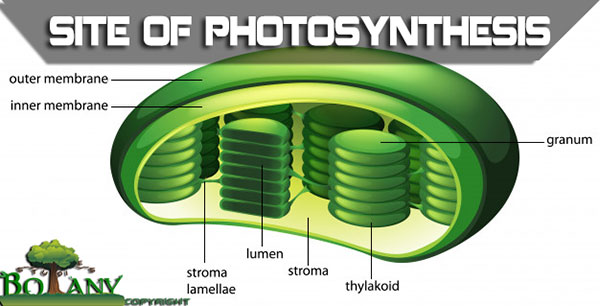 Site of Photosynthesis - Chloroplast