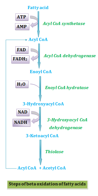Steps of beta oxidation of fatty acids