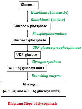 Steps of glycogenesis