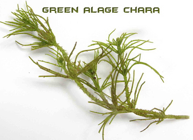 Fresh Water Green Algae Chara