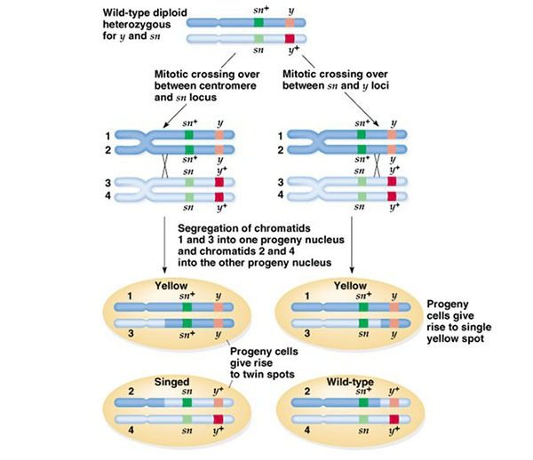 Mitotic Crossing Over Between Chromosomes