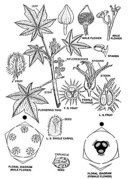 Floral Diagram of Castor-Oil Plant (Arind)