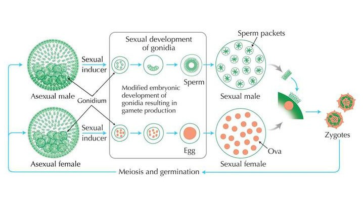 Sexual Cycle of Volvox