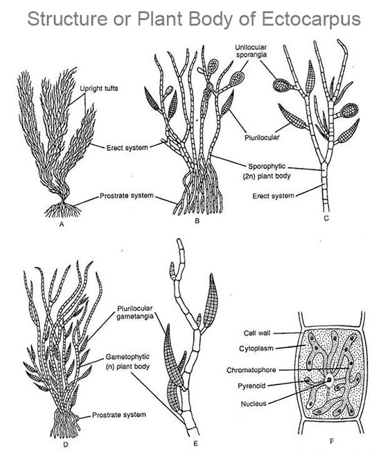 plant Body of Ectocarpus