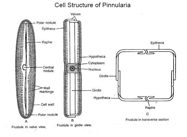 Cell Structure of Pinnularia