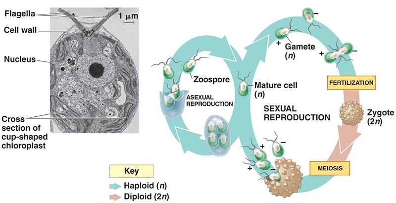 Asexual & Sexual Reproduction in Chlamydomonas