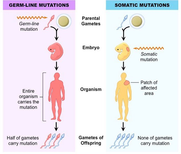 Gene Mutations: Germline and Somatic Mutation