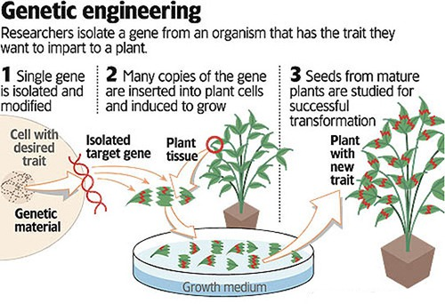 Modified Plants By Genetic Engineering