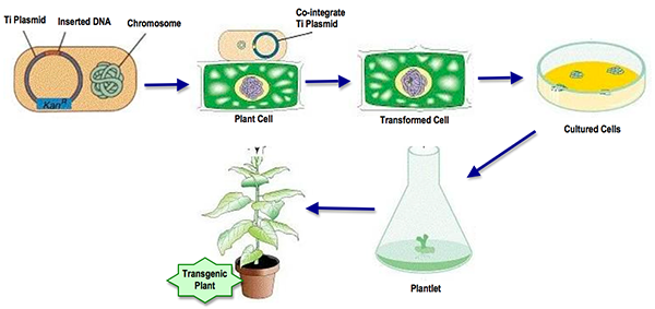 Genetic Modification of Plant