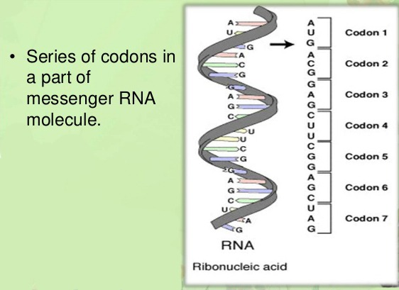 mRNA molecule With Series of Codons