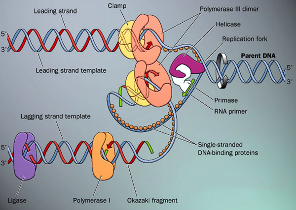 DNA Replication Steps
